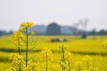 石家庄周边小众赏花目的地 春天是一个欣喜的季节, 河北郊区的常馨谷, 油菜花盛放, 满眼金黄、处处芬