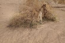 沙漠里顽强的生命