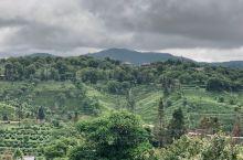 中华普洱茶博览苑,漫山遍野的茶树,休闲的好去处。