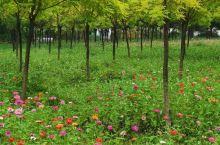 桥梓峪口村(上) 退耕还林后,峪口村在路边田地里种了很多树,树行中间种了各种各样的草花,非常漂亮,十