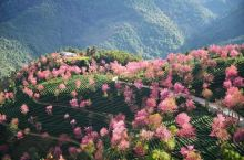 打卡大理小众景点 |无量山樱花谷   无量山其实最初只是一个山坡坡 ,当年有个台湾商人把这里的几千亩
