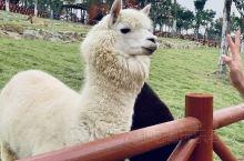 是听音乐看花海拍照圣地,有众多的游乐项目,还可以亲密接触羊驼,梅花鹿,山羊、鸵鸟等,吃喝玩乐一应俱全