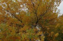 没看到钓鱼台的银杏大道银杏叶,去玉渊潭公园转转。