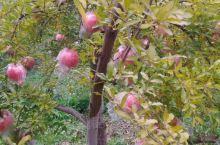 丰收的景色,糖心苹果又大又圆又脆。