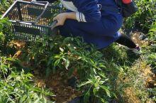 这个地方挺远的,在台山市康桥温泉度假中心里面有一个生态农场,它里面种了很多蔬菜,有辣椒,萝卜,茄子,