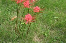 庐山秀峰聪明泉,泉水清冽甘甜,还看到了彼岸花,原来还真有这种花,寺庙中看到的,挺有寓意!!