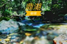 【林中仙子——白鹇下凡】 肇庆鼎湖山 是广东著名的清幽消暑度假胜地 而且这里还有林中仙子之称的白鹇出