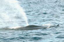 你知道吗?世界上最大动物是什么;它的长度可达33米,重量达181吨,它就是——蓝鲸! 斯里兰卡美蕊沙