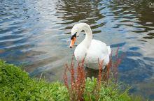 美美的大白鹅