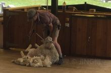 在皇后镇的瓦卡蒂普湖乘坐厄恩斯老号蒸汽船50分钟去瓦尔特高原农场观看剪羊毛。(票是提前预定的)
