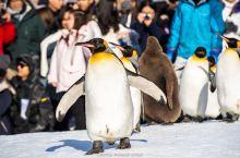 旭山动物园 旭山动物园很小,先随意逛了逛河马馆和长颈鹿馆,很快就到企鹅散步的时间了,赶紧占个好位置列