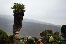 特有的高海拔植物,拍照特别有感觉。我还是第一次见到这么大的树。