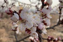 春天来了。 新保安战役遗址