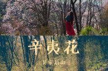 找寻野生辛夷花秘境之旅 四川省绵阳市一直是春日赏辛夷花的大热好去处。但采采此行的目的地——吴家后山,