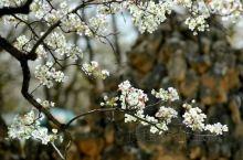 """皋兰县什川镇""""万亩梨园""""种植历史可追溯到明代嘉靖年间,这里留存至今的古梨树最""""年长""""的已有四五"""