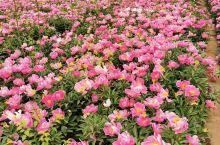 很不错的赏花地方,兴平八里村花海。