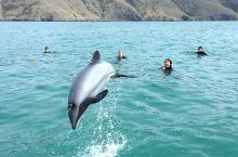 新西兰阿卡罗阿|藏着罕见小海豚的法式小镇 你知道吗,世界上最小的海豚就藏在新西兰。想要与他们偶遇,就