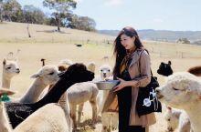 澳大利亚阿德莱德索夫特羊驼农场Softfoot撸羊驼咯  身为机械师出身的农场主爷爷20年前买下了这