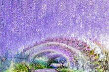 游紫藤园——仙境般的存在  紫藤花盛开的时节是在每年四月中下旬-五月上旬。日本北九州的八幡市有一个私