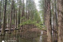 李中水上森林公园的水杉、二月兰、油菜花、水鸟真的很棒!值得不同季节多去看看!争5A吧,够格!!
