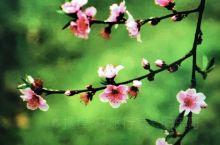 九峰山有着成片的桃花、梅花,人比花娇。