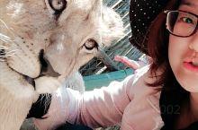 超级可爱的小狮子 萌萌的