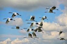 这里是黑龙江齐齐哈尔的扎龙保护区丹顶鹤,这里是东北地区观看丹顶鹤的最佳地点。世界上现有的鹤类有15种