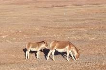 可可西里随处可见藏羚羊和藏驴