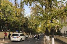 青岛湛山三路                  银杏树在秋天是最美的季节。它的叶子由绿色开始变成绿中