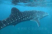 菲律宾宿务观鲸鲨