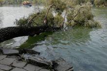 你们见过长在水里的大树吗?