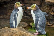 很多人认识奥马鲁是因为那萌萌哒蓝企鹅,那蠢萌的走路姿态,圆滚滚的身材,每个接触过的人心都被萌化了。
