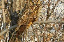 在小区的球场上看到一只猫头鹰。