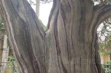 这棵树能活到现在就是奇迹,希望大家都保护一下