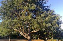 怀卡托大学的树