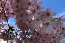汉密尔顿樱花节
