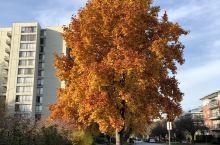 金黄的树色
