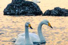 港湾不深,随着潮涨潮落时而显现,时而淹没,潮汐为天鹅带来了丰富的食物,同时也为人们近距离观看天鹅提供