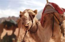 """抓拍月亮谷里,最耀眼的""""仔"""" 沙漠绿洲真是这片土地上的最萌物种哈哈 月亮谷Wadi Rum  如果说"""