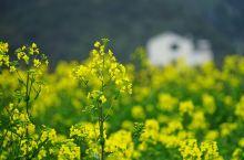 金华武义油菜花盛开 春来武义,除了采茶泡温泉,还有一个小村庄景色小清新,村子名字叫碗铺。这里曾经有婺