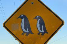 奥玛鲁蓝企鹅保护中心与可爱的蓝企鹅亲密接触  新西兰的奥玛鲁蓝企鹅保护中心是世界上体型最小的蓝企鹅的