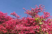 莫说杜鹃迟报春,一夜花开天下惊。湖北黄冈有一片独特的热土,名叫麻城,麻城有座神奇的龟峰山,山上杜鹃花