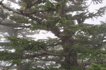 终于如愿登上了富士山,虽然天气不是很好,但这棵树非常特别