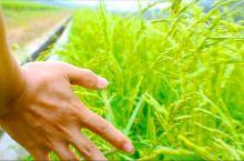 秋收季节,寻找最耀眼的那一片稻田,新兴云座农场的稻田即将成熟了,满眼都是金色的田野,预计在11月初收