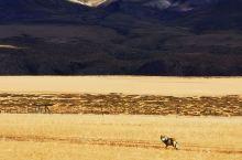 今天在新藏线路上,西藏阿里地区,遇到一匹孤狼