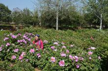 牡丹园有三个东京巨蛋那么大,而且本地种牡丹呈深紫色,极为艳丽。除此外园内还有树龄超过200年的古木、