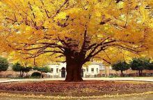 银杏树在我国有着非常悠久的种植历史,历经千年的银杏古树也有不少,它的树形端庄,叶片整洁且极为对称,与
