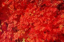 一片枫叶一片情,片片枫叶都是情!风枫之乡三道湾。