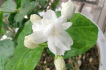 不知道发什么的我,我妈养的茉莉花,夏天开的花