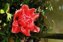 瓷玫瑰,很少见的一种玫瑰花,她的花语:无缘的爱!!